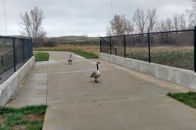Canada geese on the trail