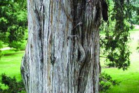 Close up of Red Cedar trunk
