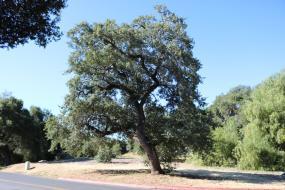 Large Engelmann Oak by road