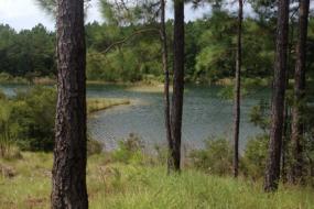 Pine trees on banks of the lake
