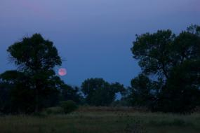 Strawberry moon rising above trees