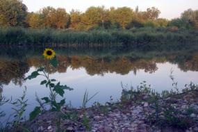 Sunflower beside the river