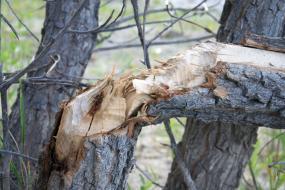 Beaver-chewed tree