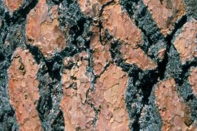 close up of ponderosa pine bark
