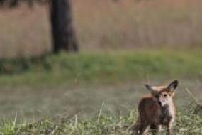 Red fox in field