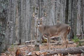 Young white tail buck in the forest