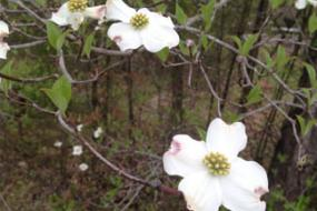 Dogwood flowers and bracts
