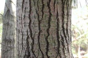 close up of a white poplar tree trunk